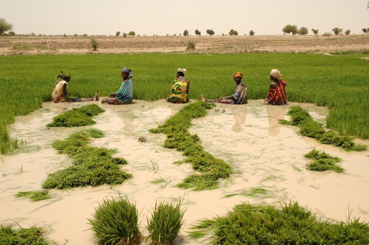 Malian_women_pulling_seedlings_1000px